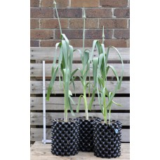 Russian/Elephant/Giant Garlic in 3 litre Air-Pot Container