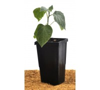Ground Cherry / Cape Gooseberry Young Plant