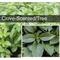 Clove-Scented Basil (also known as Tree Basil)