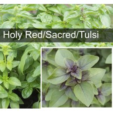Holy Red Basil (also known as Sacred Basil, Tulasi and Tulsi)