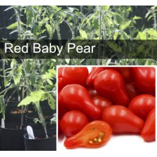 Baby Red Pear Tomato Plant