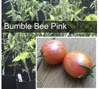 Bumble Bee Pink Tomato Plant
