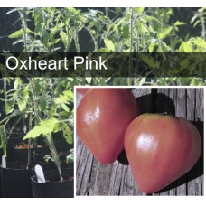 Pink Oxheart Tomato Plant