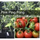 Pink Ping Pong Tomato Plant