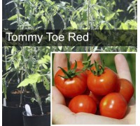 Tommy Toe Tomato Plant