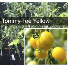 Tommy Toe Yellow Tomato Plant