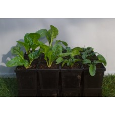 American Curled Spinach